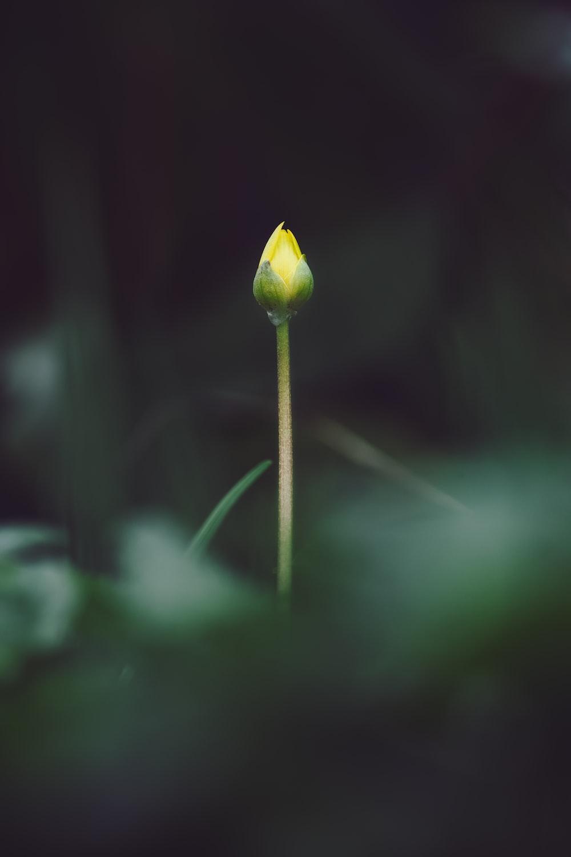 yellow flower bud in tilt shift lens