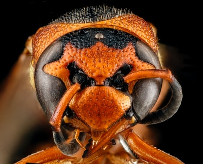 brown and black wasp in close up photography