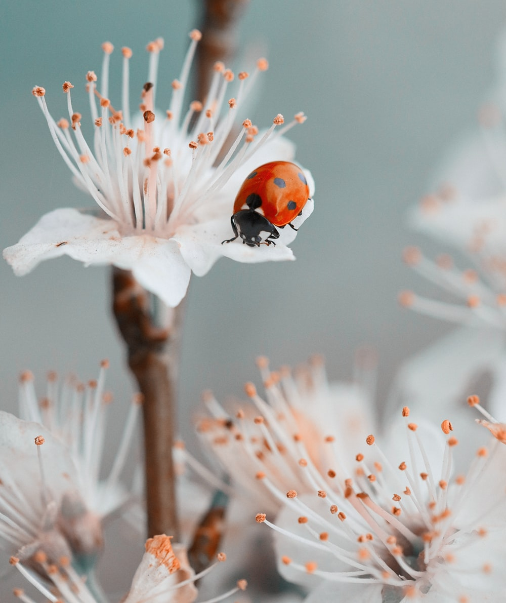 red ladybug perched on white flower in close up photography during daytime