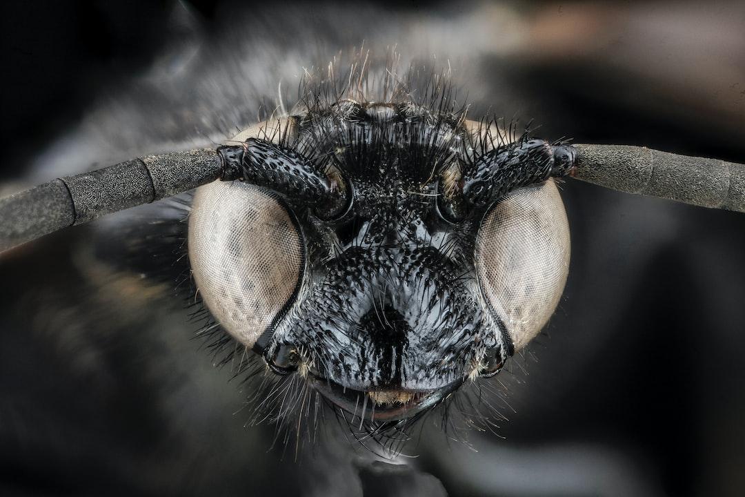 Scolia bicincta, wasp