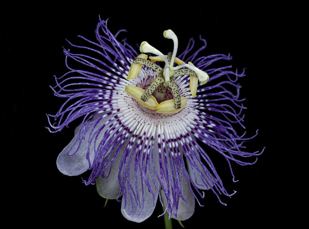 purple and white flower with black background