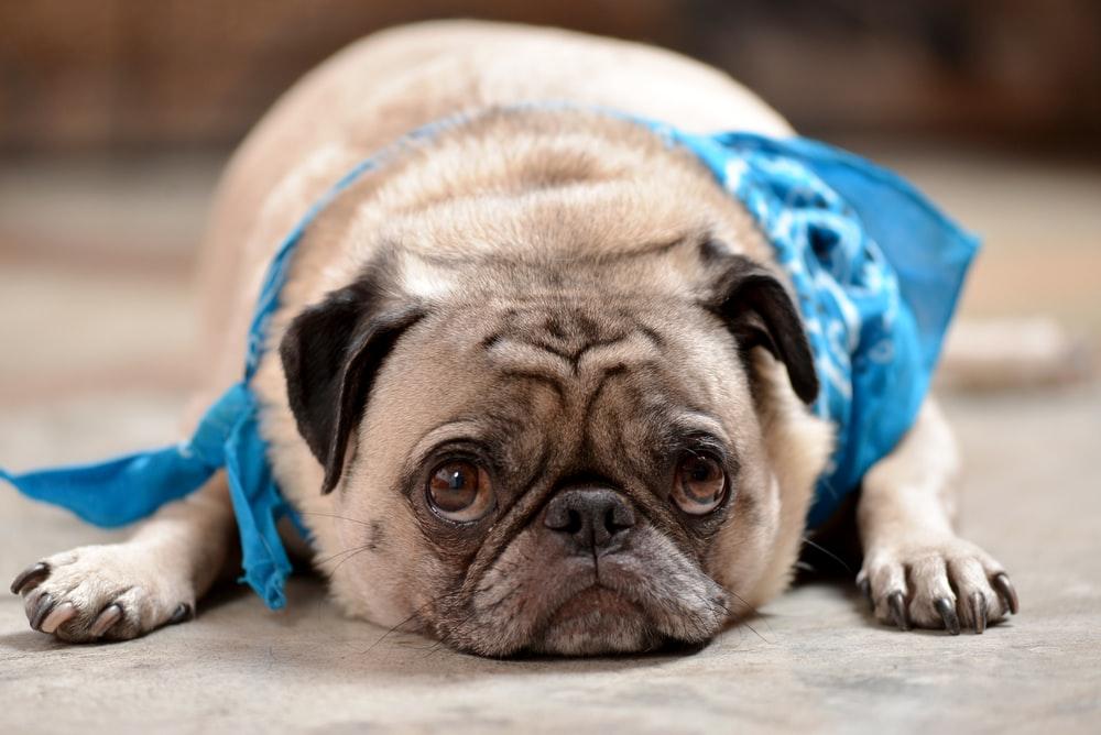 fawn pug lying on blue and white textile