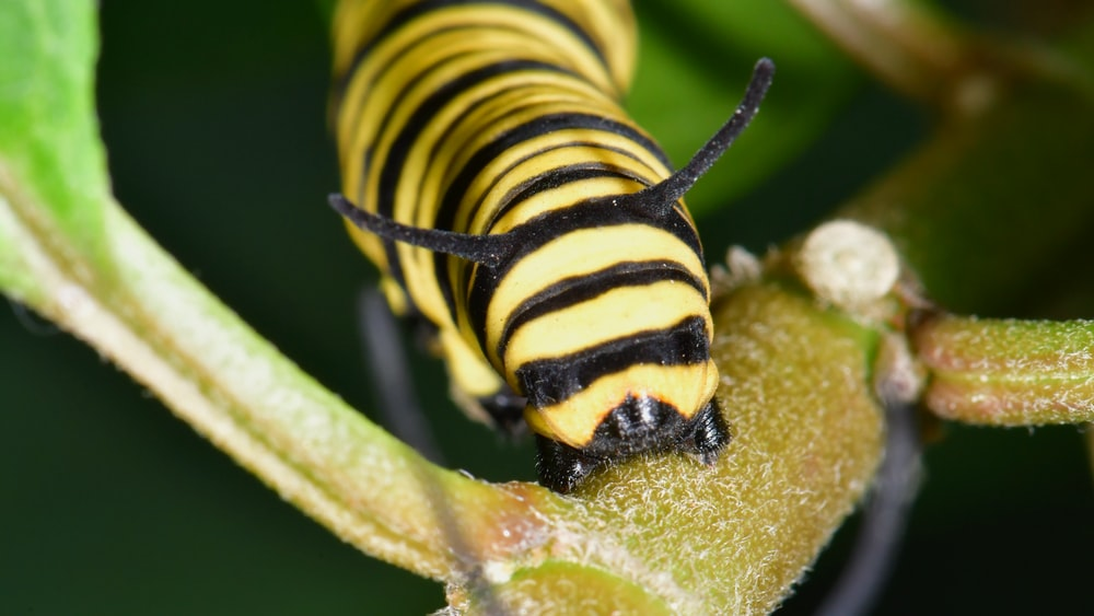 yellow and black caterpillar on green leaf