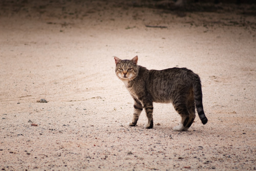 brown tabby cat walking on sand during daytime