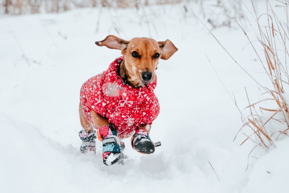 brown short coated dog wearing red and white polka dot shirt sitting on snow covered ground
