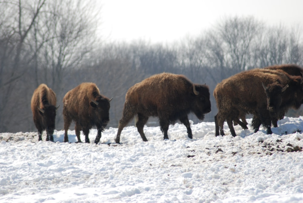 brown bison on snow covered ground during daytime