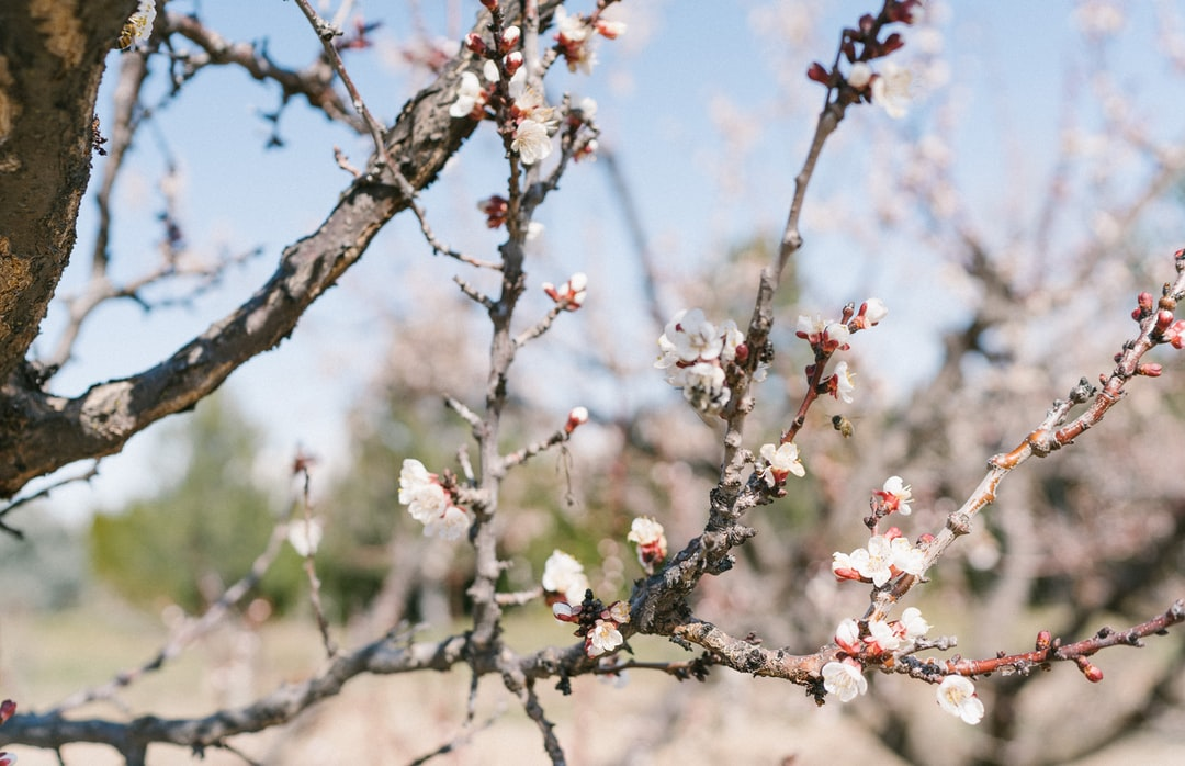 Spring blossoms in an orchard with honey bees pollinating.