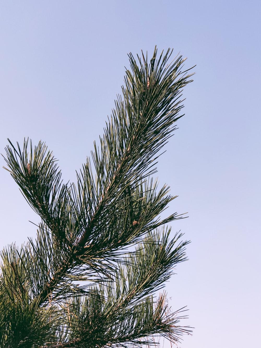 green pine tree under white sky