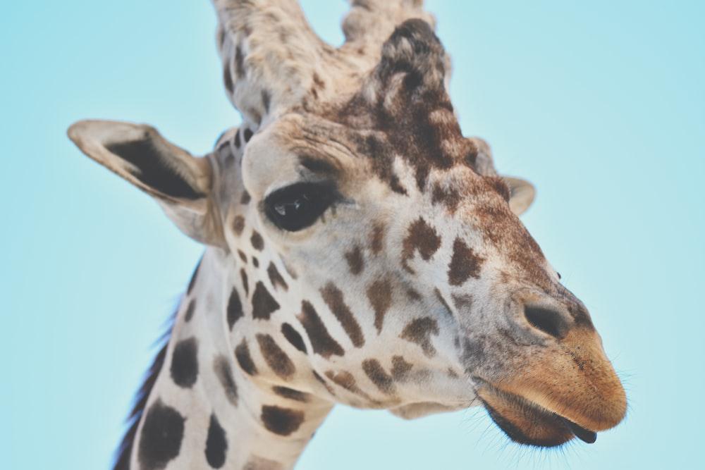 brown and white giraffe head