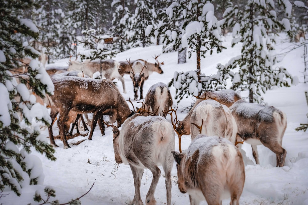 herd of goats on snow covered ground during daytime