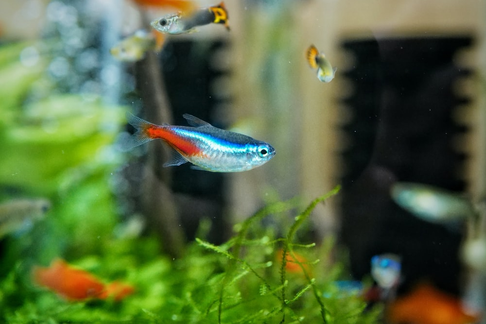 blue and orange fish in fish tank