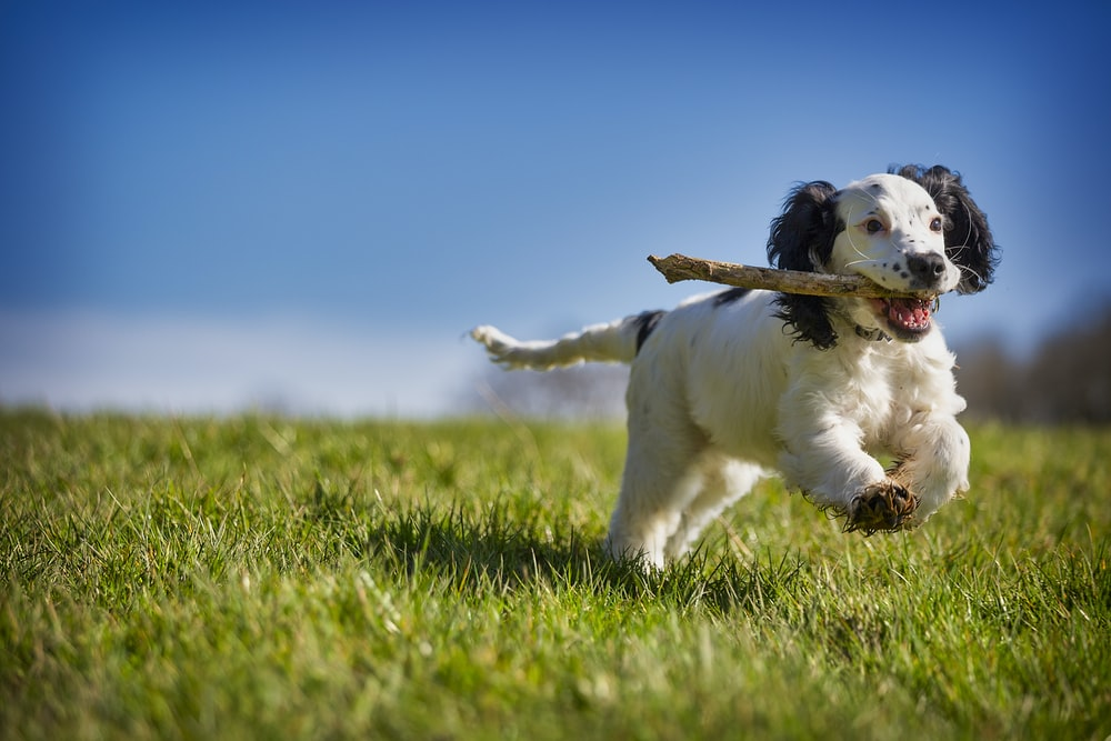 white and black short coated puppy on green grass field during daytime
