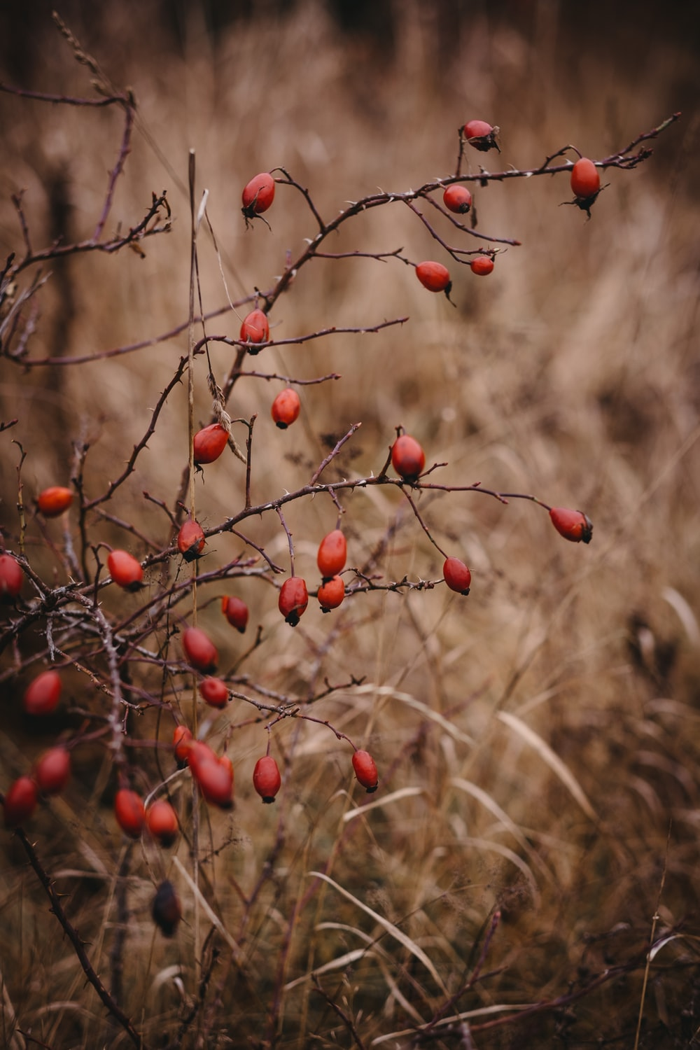 red round fruits on brown grass during daytime