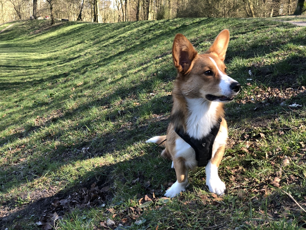 brown and white corgi on green grass field during daytime