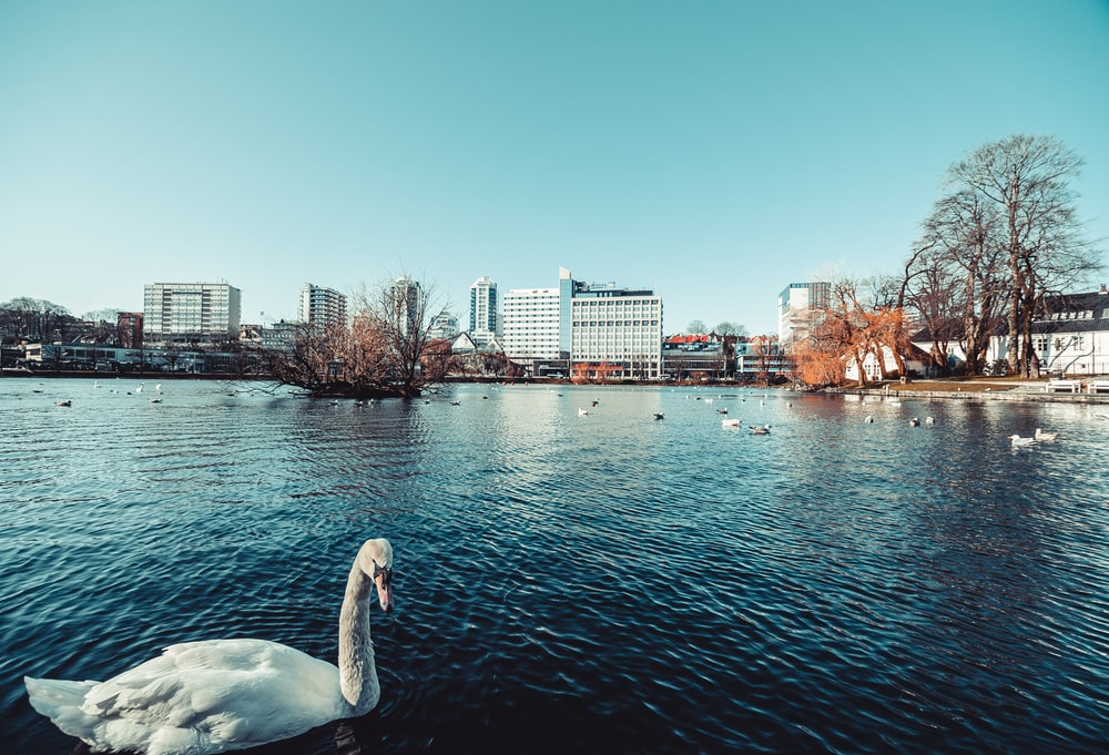 swan on water near city buildings during daytime