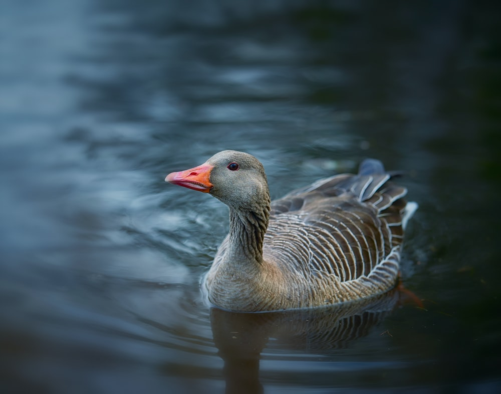 brown duck on body of water during daytime