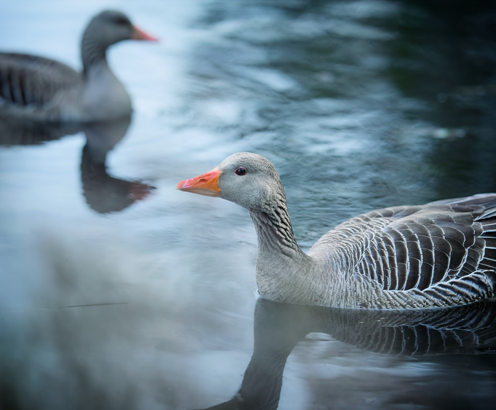 grey and black duck in water