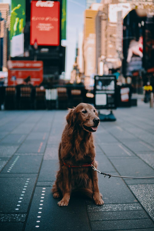brown long coated dog sitting on sidewalk during daytime