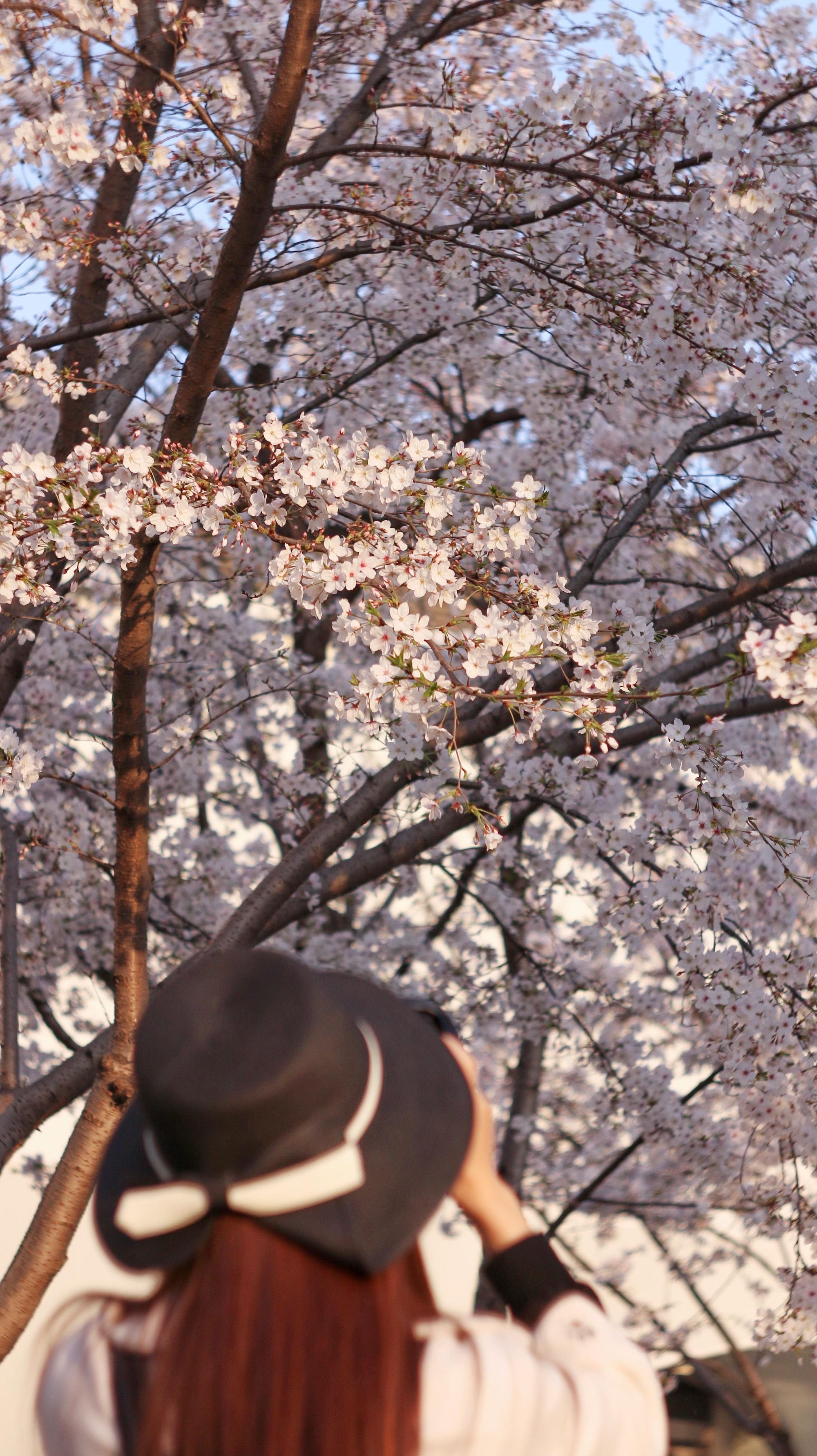 spring,sakura,cherry tree