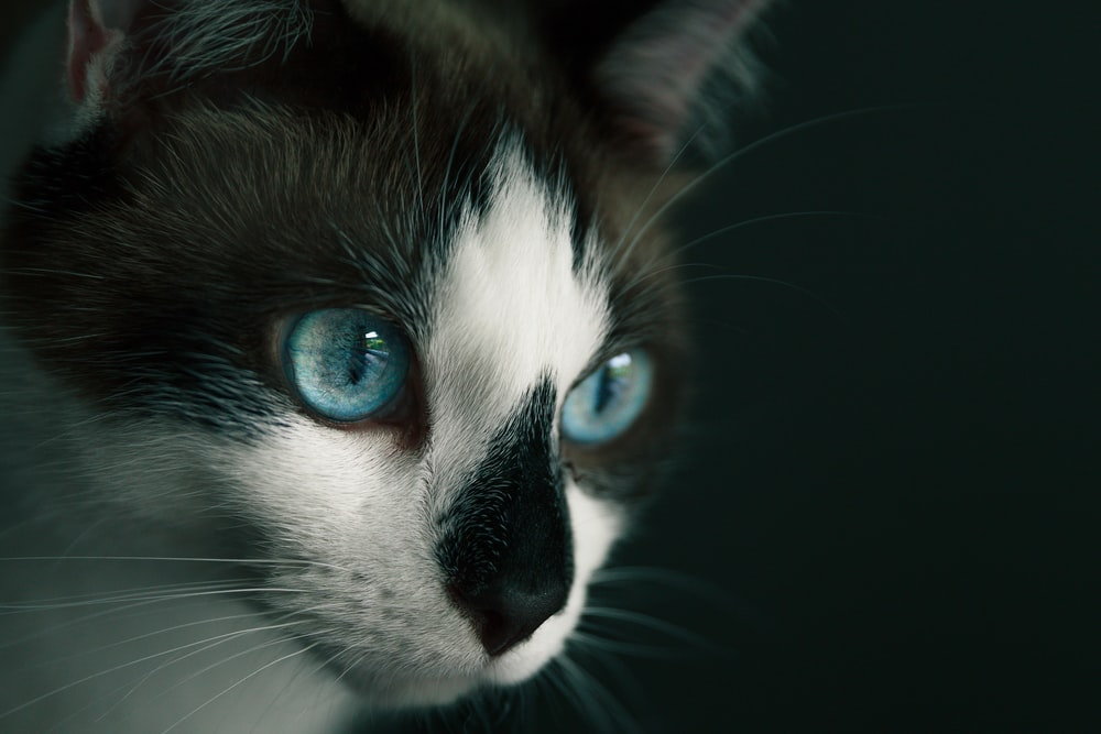 white and black cat with blue eyes