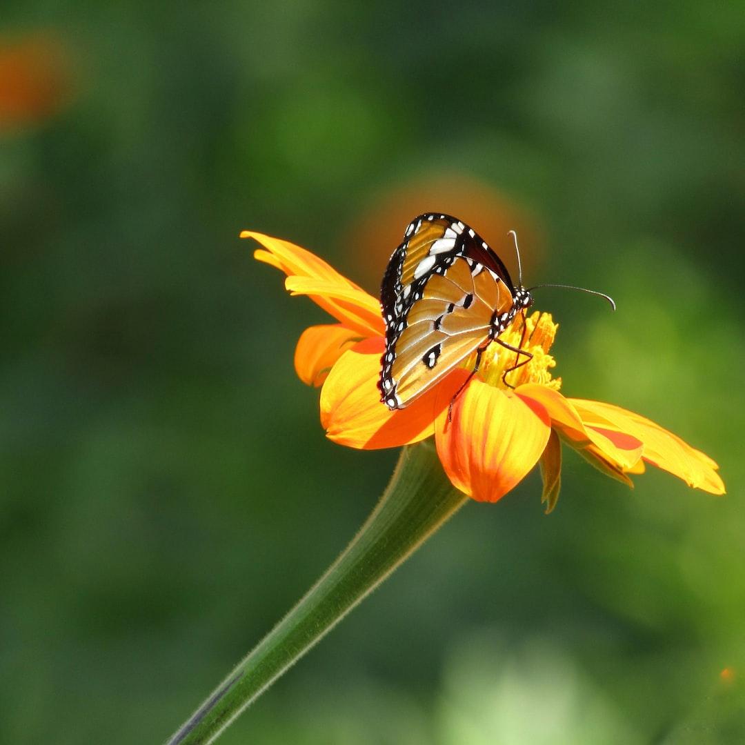 Adult monarch, Danaus plexippus Linnaeus, from Polokwane, South Africa. Photograph by Mpho Hlakudi, University of Limpopo.