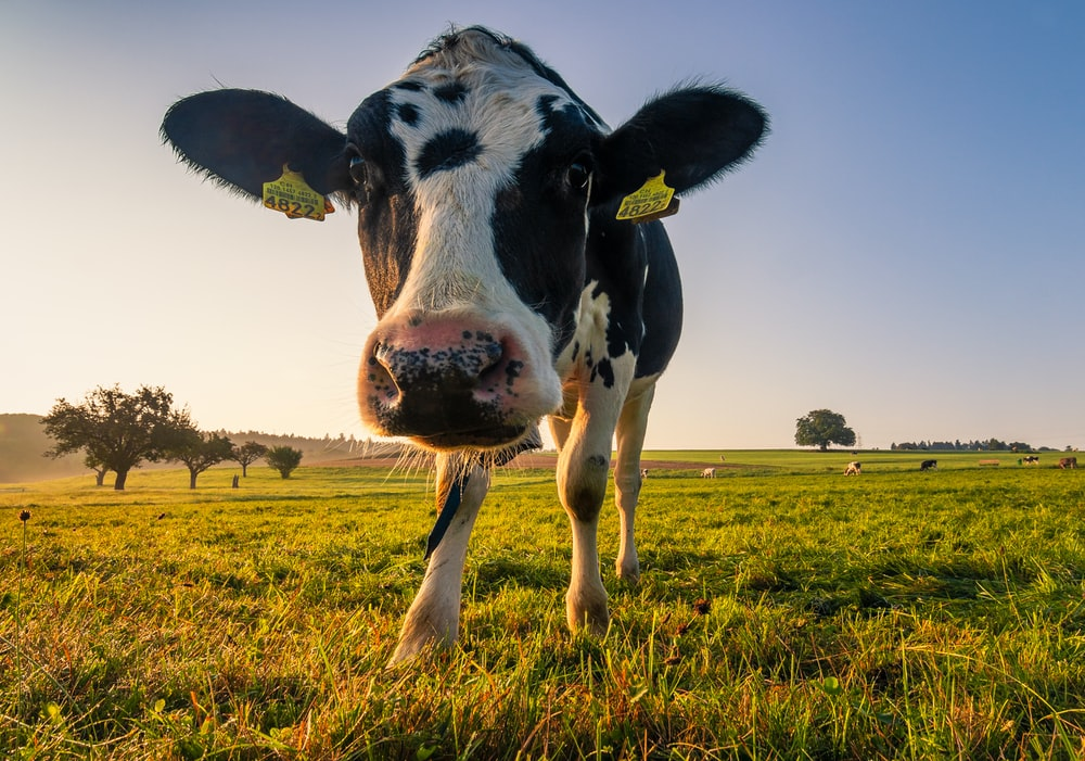 black and white cow on green grass field during daytime