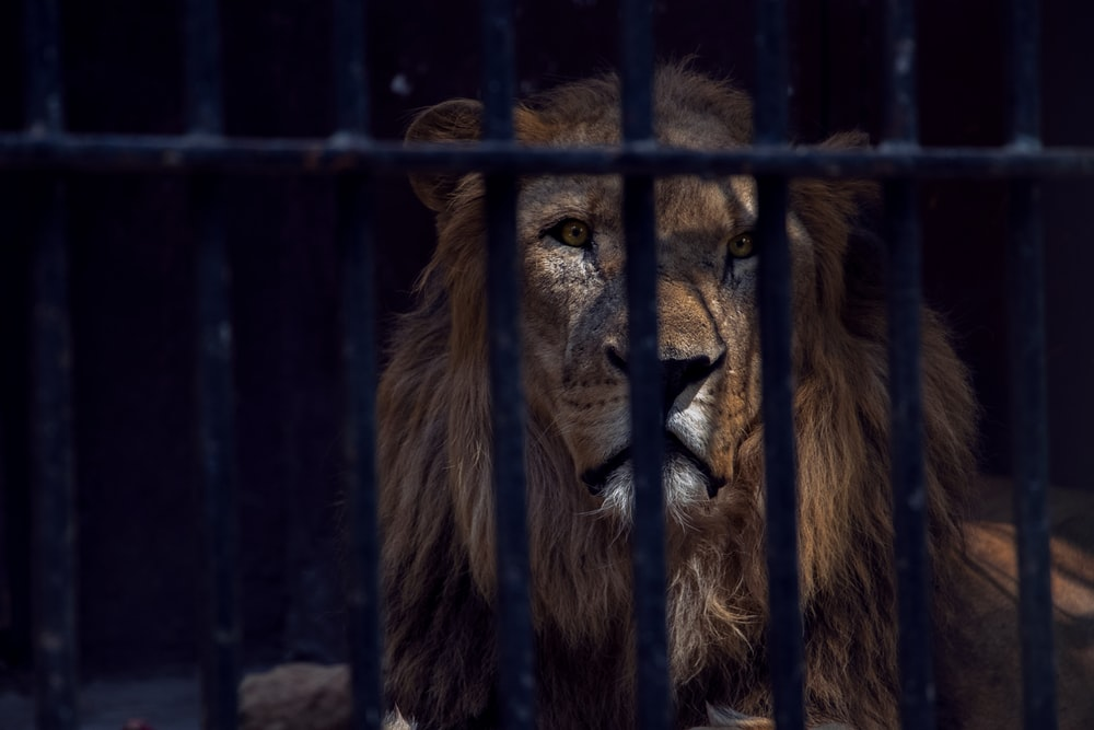 lion in cage during daytime