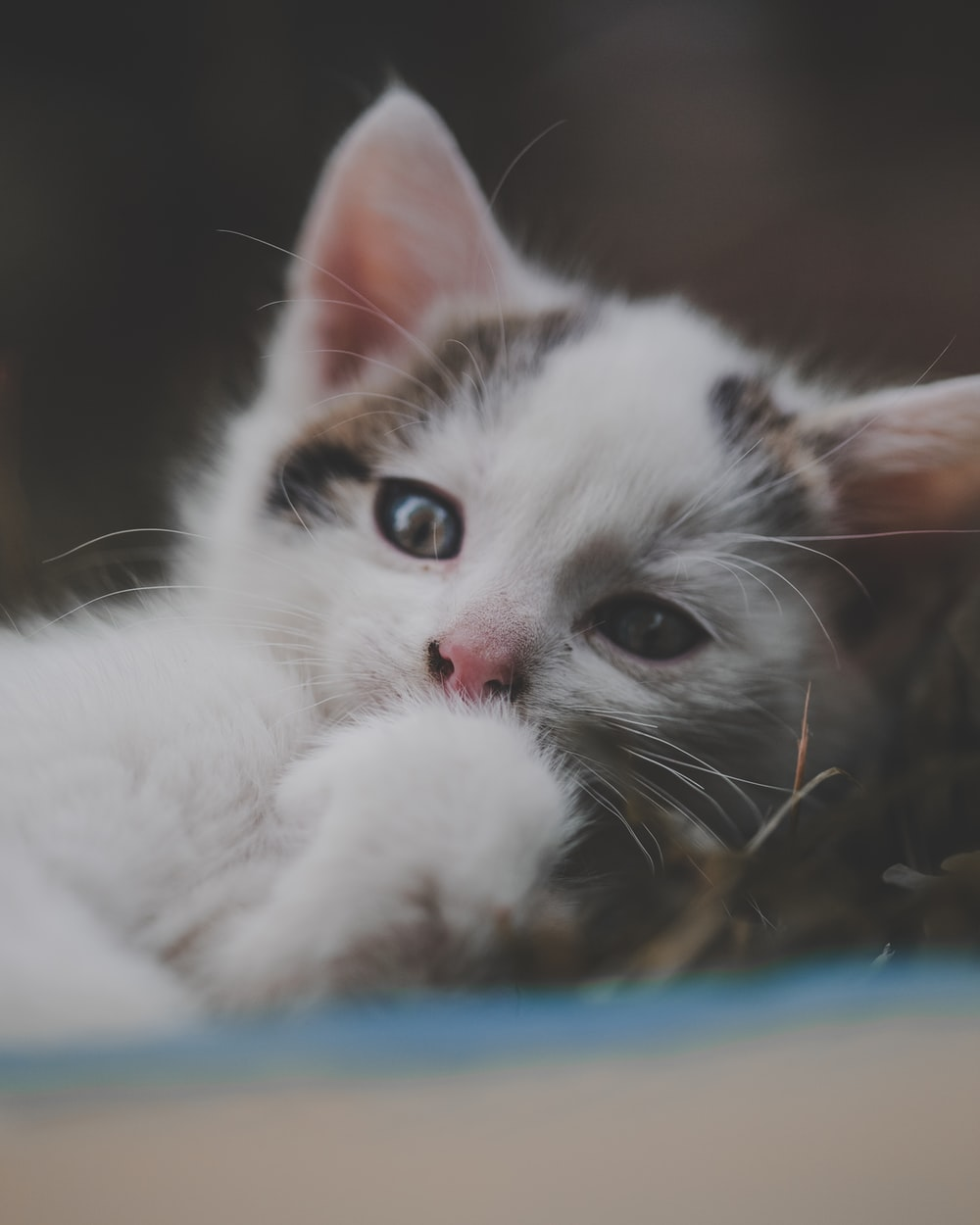 white and brown cat lying on blue textile