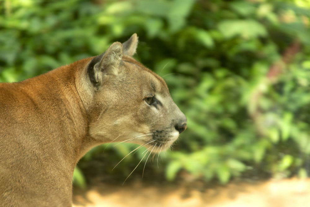 brown lioness in tilt shift lens