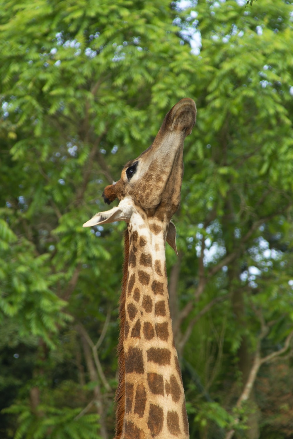 brown and black giraffe in forest during daytime