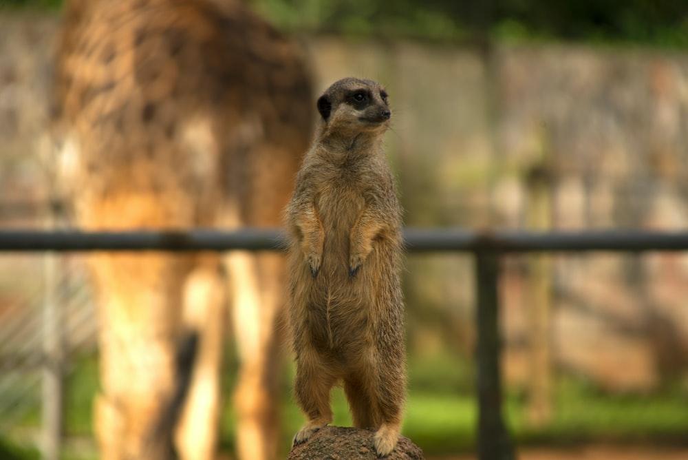 brown meerkat standing on black metal fence during daytime