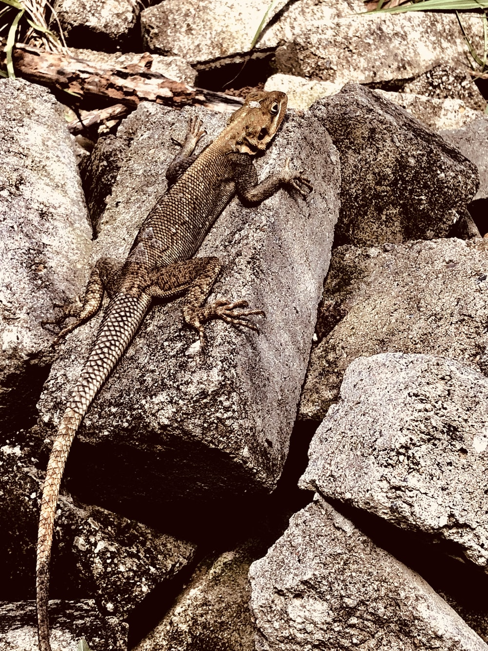 brown lizard on brown rock