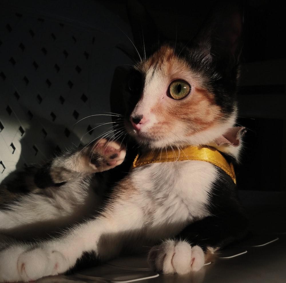 white black and orange cat