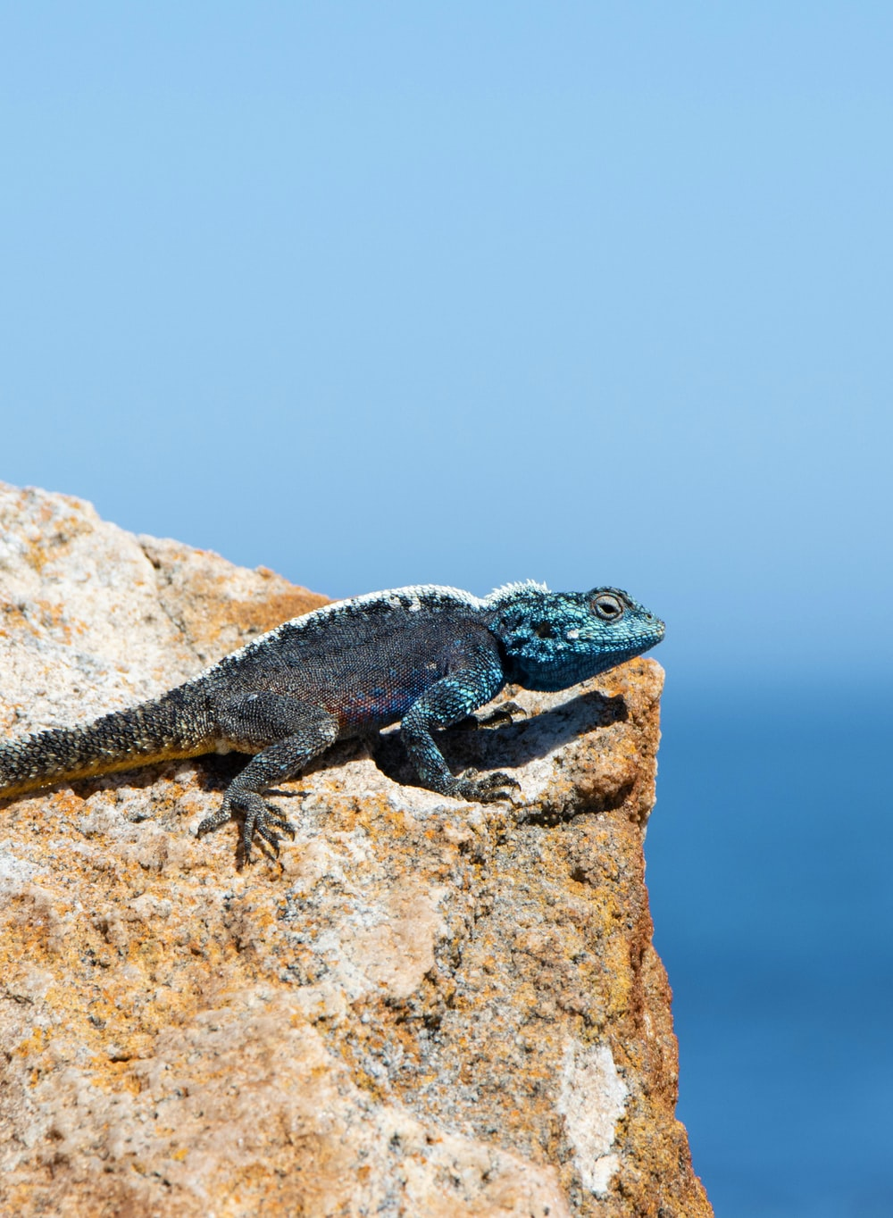 blue and black lizard on brown rock during daytime