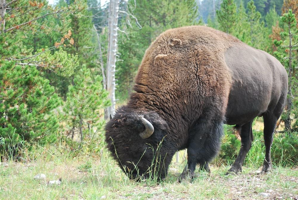 black bison on green grass field during daytime