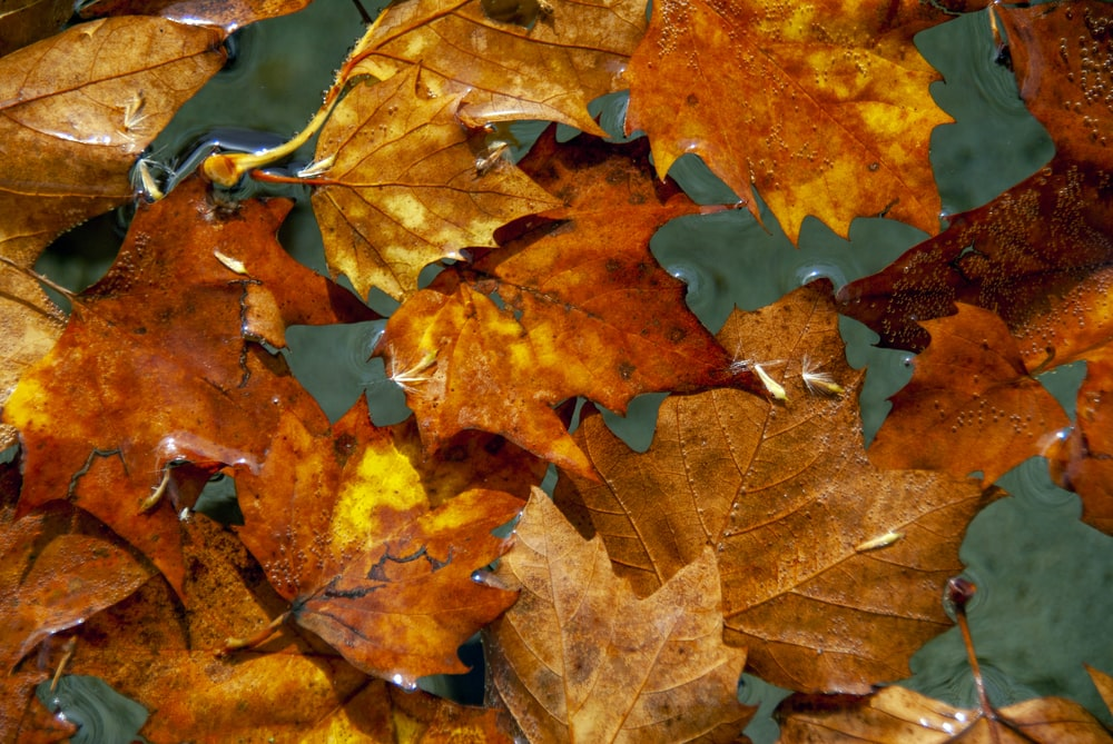 brown and red maple leaves