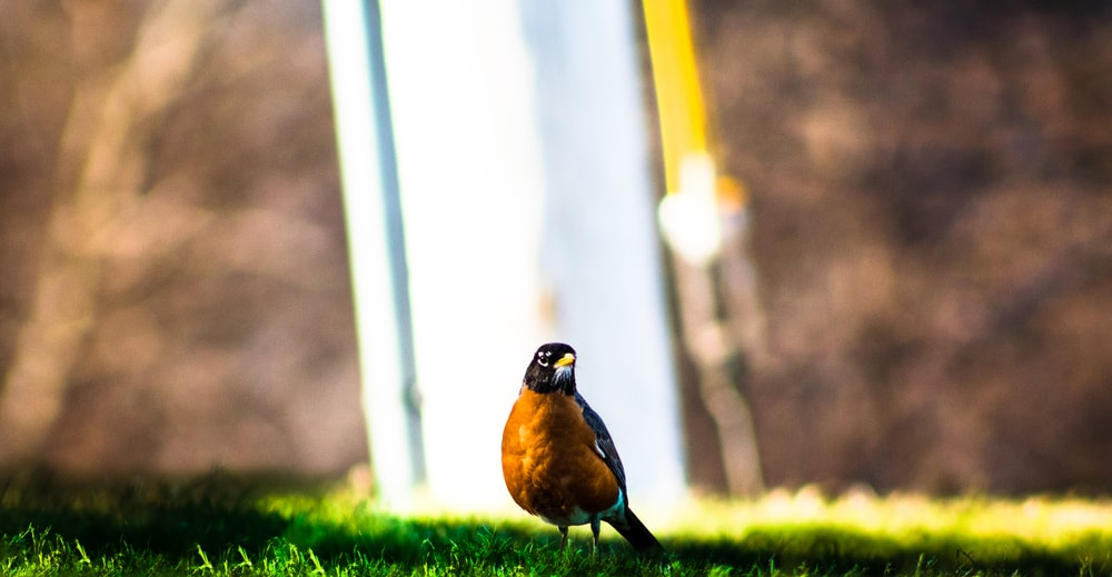 brown and black bird on green grass during daytime