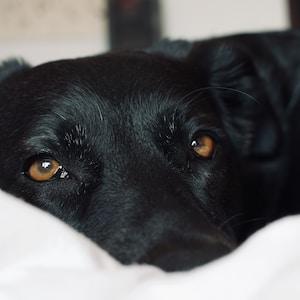 black short coat medium sized dog lying on white textile