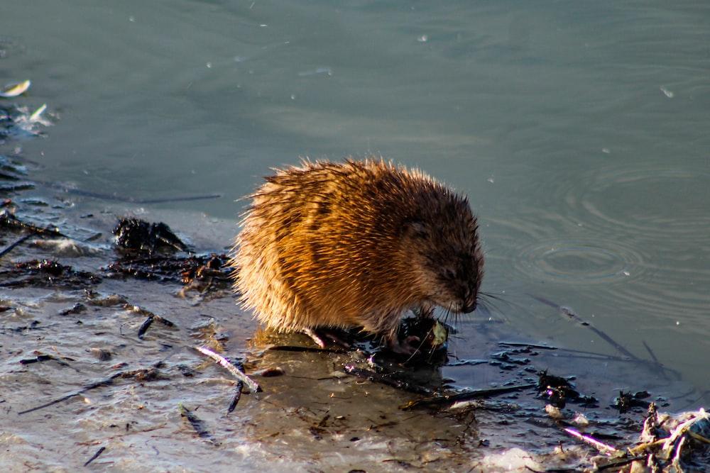 brown hedgehog on water during daytime