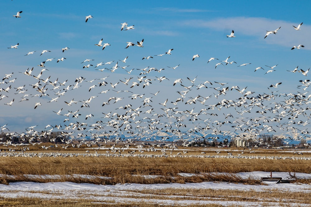 flock of birds flying over the field during daytime