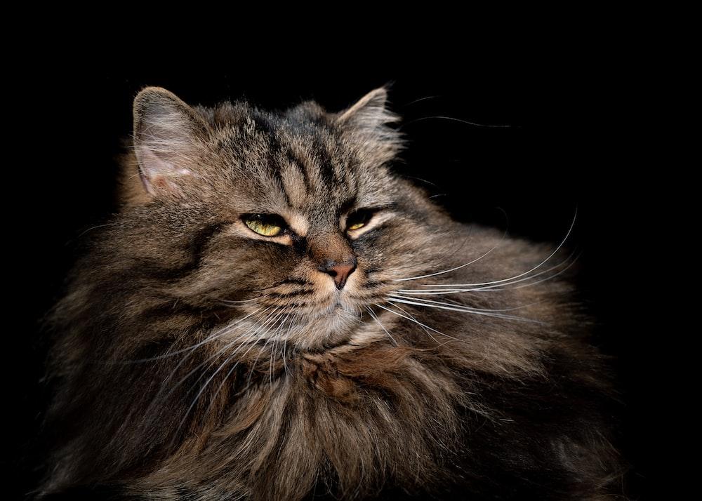 brown and black long fur cat