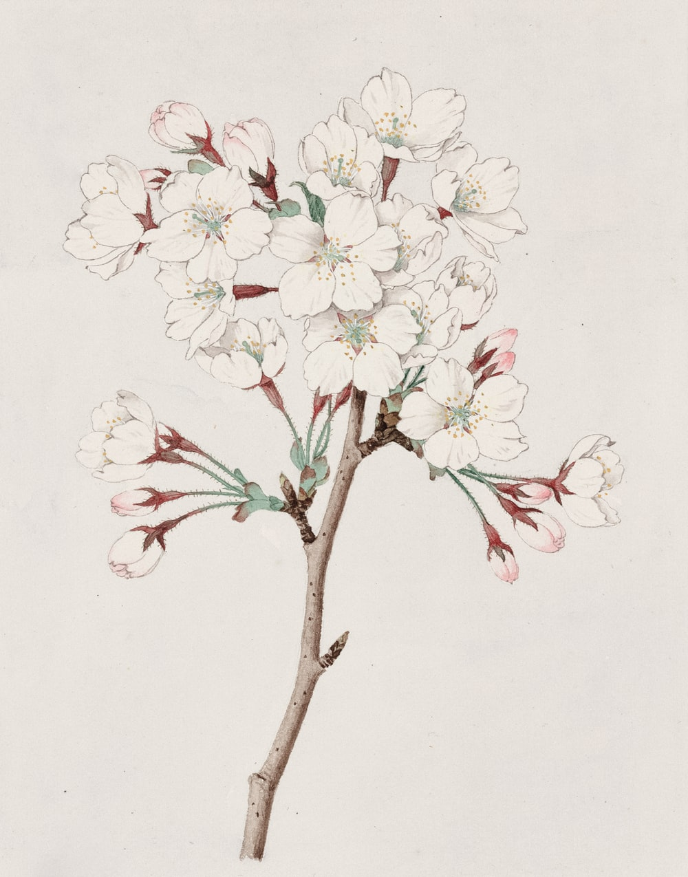 Watercolor of cherry blossoms.