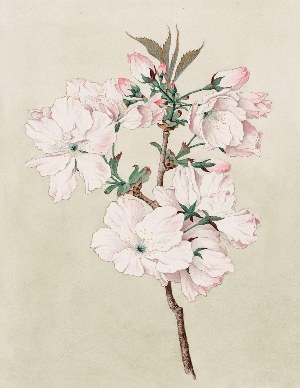 Watercolor of ariaki (daybreak) cherry blossoms.
