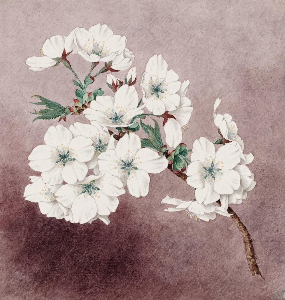 Watercolor of shirayuki (white snow) cherry blossoms