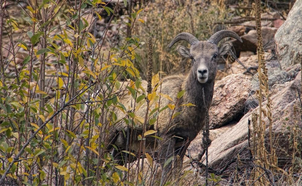brown ram on brown rock during daytime