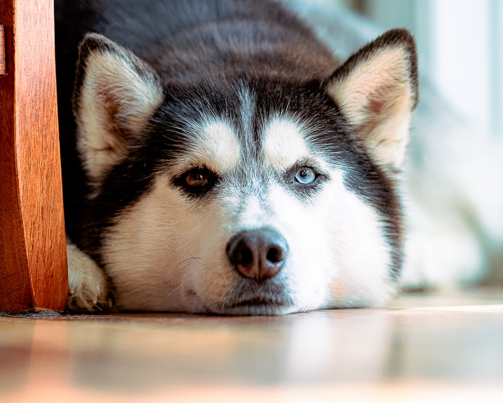 black and white siberian husky puppy lying on brown wooden floor