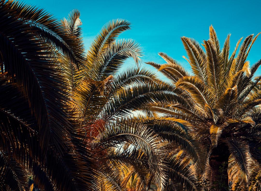 Palmtrees in Barcelona.