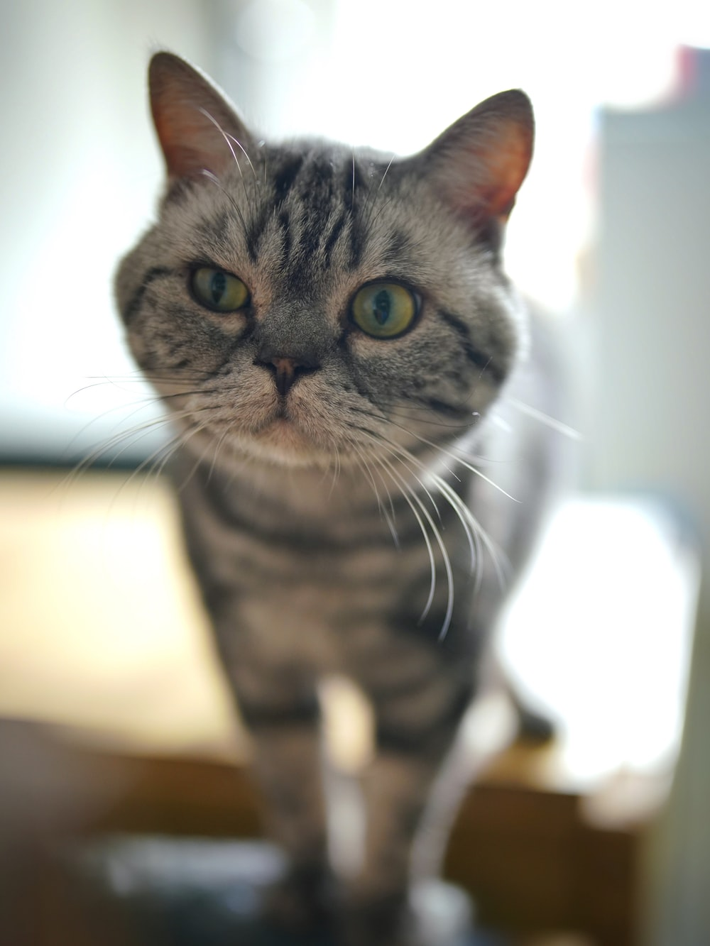 silver tabby cat on brown wooden table