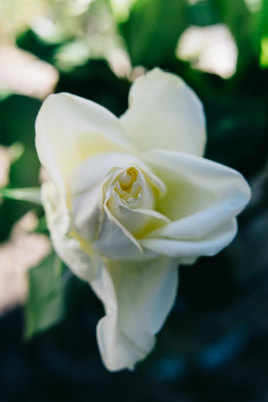 white rose in bloom during daytime