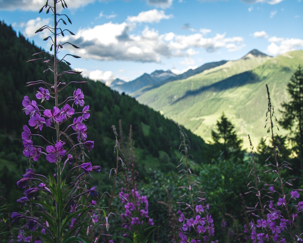 purple flowers near green mountains during daytime